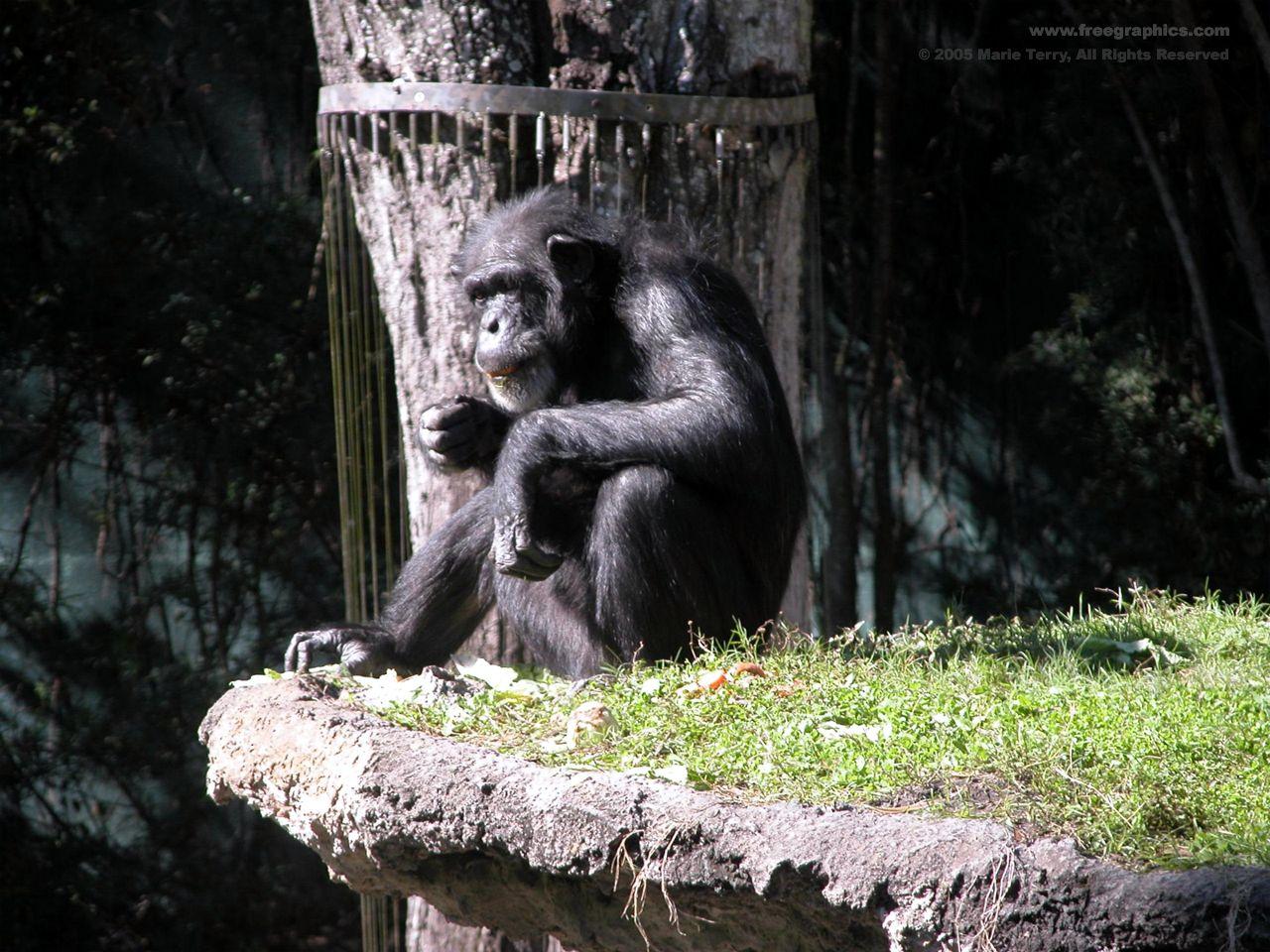 Free Chimpanzee Wallpaper Desktop