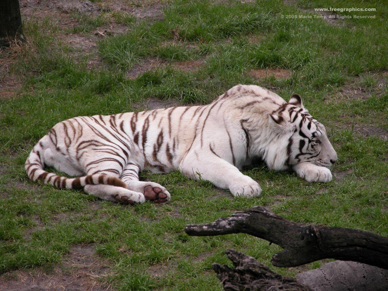 Jungle Animals Tigers White Tiger Hd Wallpaper Free Picture